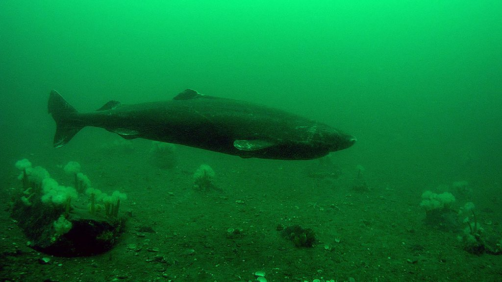 The truth about the Greenland shark?