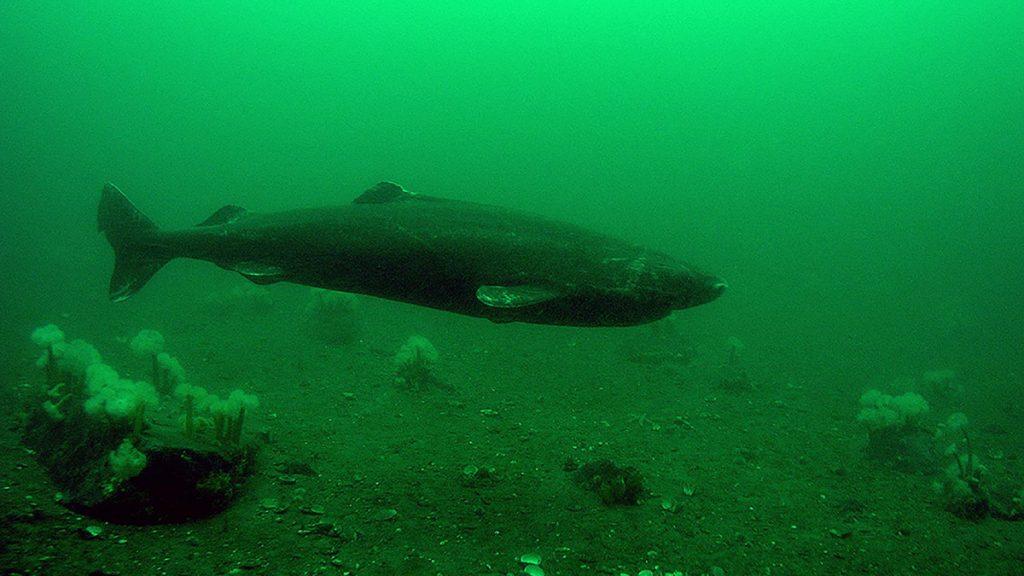 La vérité sur le requin du Groenland ?