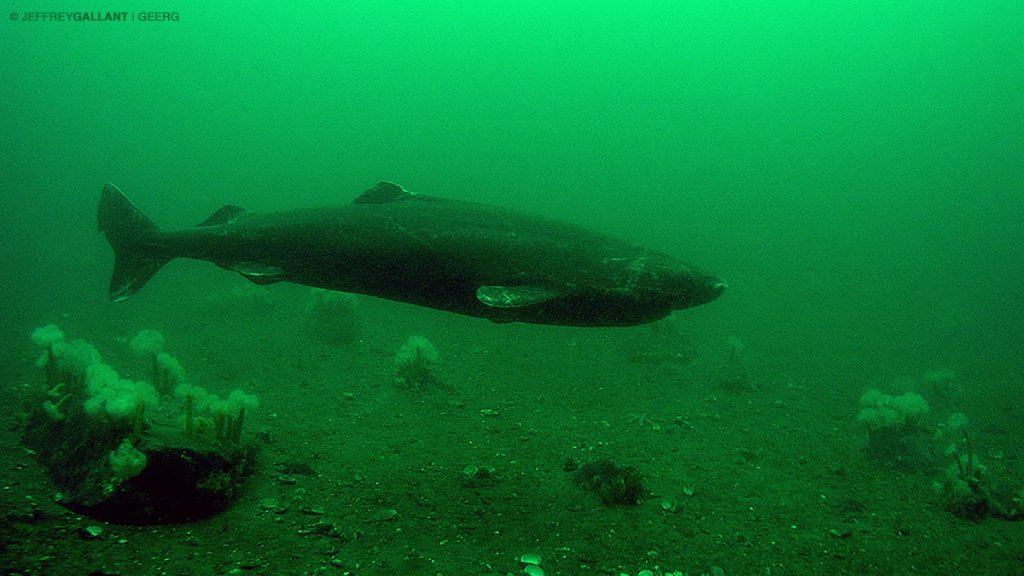 Influence of environmental variables on the diel movements of the Greenland Shark in the St. Lawrence Estuary (2016)